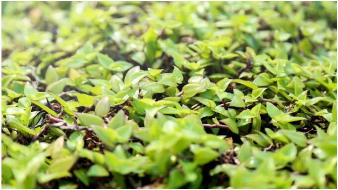 生态种植屋面绿植—改良锦竹草.jpg